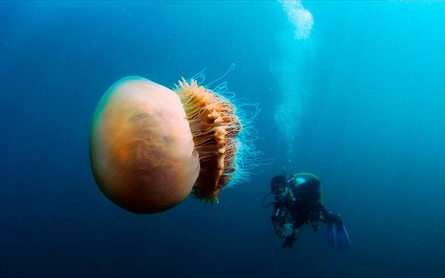 Медуза-гигант