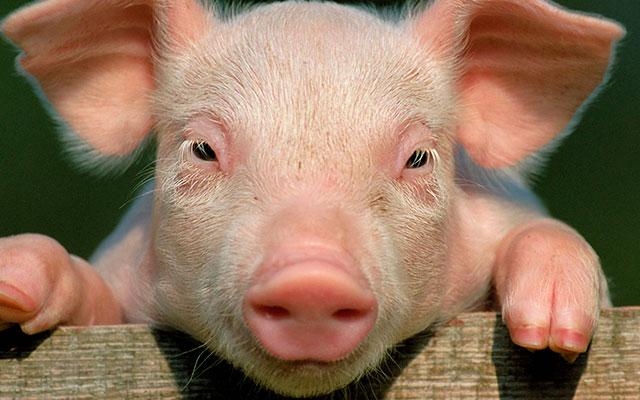 Копыто свиньи