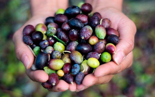 Ручной сбор оливок